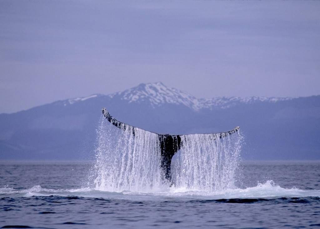 Whale off of the coast of Alaska 
